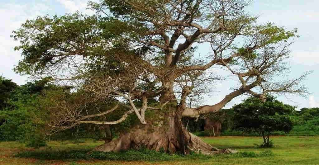 arbol maya ceiba