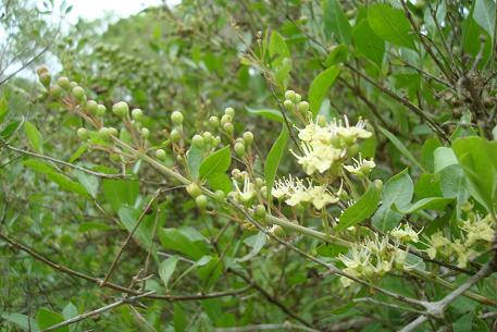 Planta de Henna Lawsonia inermes